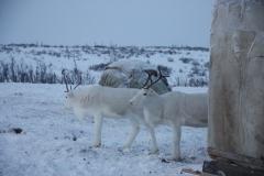 """Белые ручные олени прячутся от аркана за балком / White tame reindeer are hiding from a lasso behind a """"balok""""."""